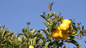 lemons-on-lemon-tree-with-blue-sky_WywjQlxWB