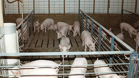 DeKalb Swine Breeders