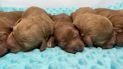 Star's newborn puppies