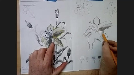 Beginning Drawing - the lily