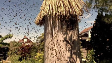 Swarm flies into log hive
