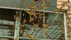 Gongora grossa