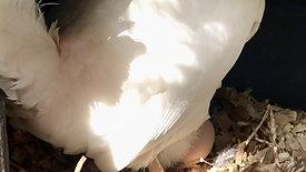 Daisy lays an egg