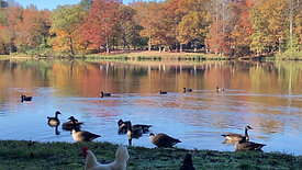 Breakfast with geese