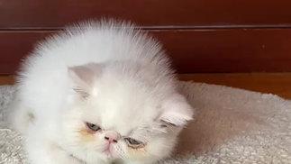 Gatita exótica blanca (1 de 2)