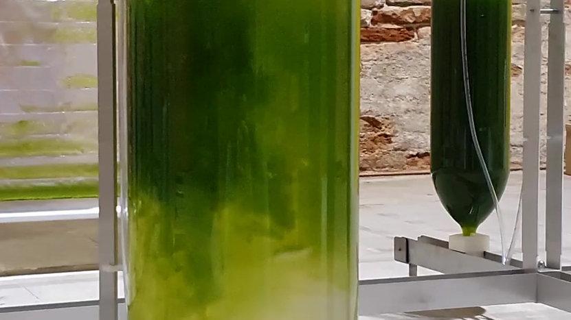 algae inoculation