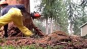 Huge dead Douglas Fir tree near house