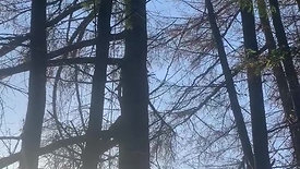Larch tree topping