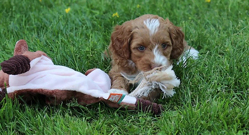 Chilliwack Labradoodles Copper Rose Litter 6 Week Pup Date