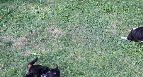 Chilliwack Labradoodle 7 Week Pup Date Rainbow Of Phantoms Litter