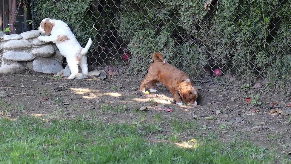 Chilliwack Labradoodles Summer Breeze Fall Leaves 7 Week Pup Date