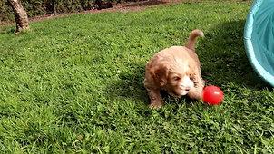 Chilliwack labradoodles 8 week pup date surprise parti litter FINAL