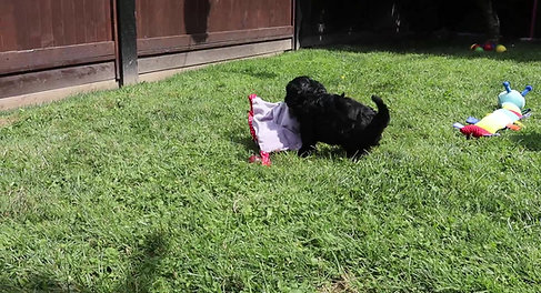 Chilliwack Labradoodles The Phantom Of Our Opera Litter Week 6
