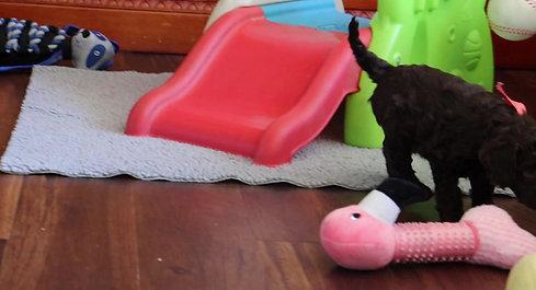 Chilliwack Labradoodles 6 Week Pup Date Summer Breeze Fall Leaves Litter