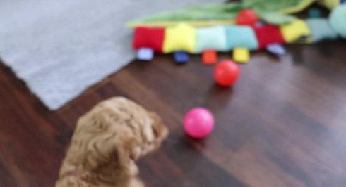 Chilliwack Labradoodles Copper Rose Litter 7 Week Pup Date