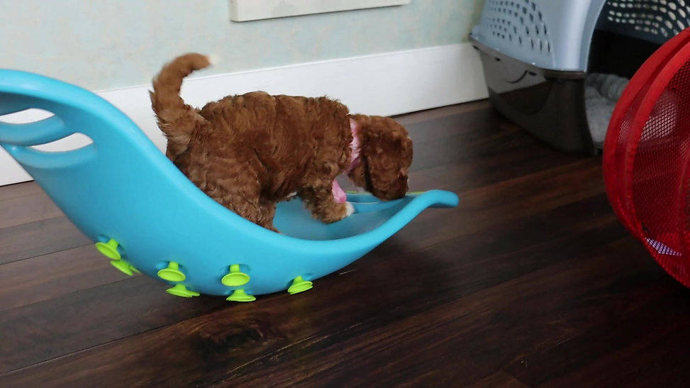 Chilliwack Labradoodles New Year New Hope Litter 6 Week Pup Date