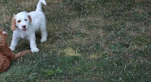 Chilliwack Labradoodles Frosted Caramel Litter 9 Week Pup Date