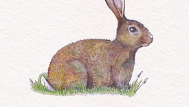 Drawing a bunny in colour pencils