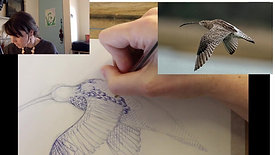 free class -drawing a curlew bird in ballpoint