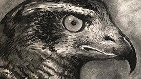 charcoal drawing - falcon