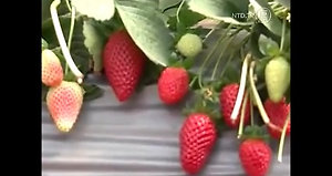 Strawberries - Israel