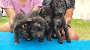 Four abandoned Puppies dumped and left to die on the Streets of Ubud Bali