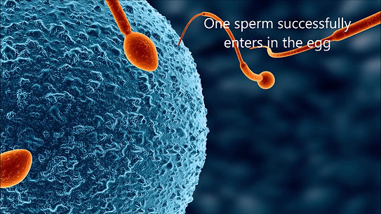 5. How do an egg and sperm meet?