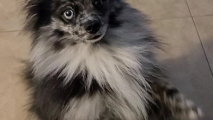 10022 Willow (Pomeranian)