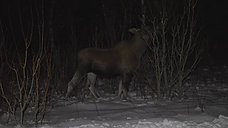 Moose at night