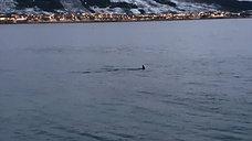 Orcas in Sortland centrum