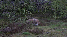 Red fox cubs fights at night in summer