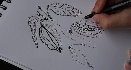 Dessin feuilles et graines de cacao