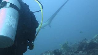 Thresher Shark Encounter 遇见长尾鲨了