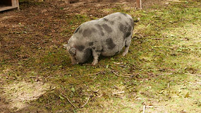 16 10 02 Cochon
