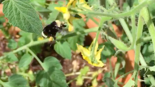 Bombus Buzz-Pollinating