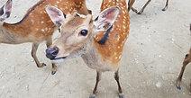 Well Mannered Deer Nara Park 2017