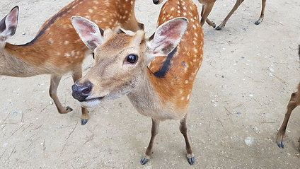 Well Mannered Deer Nara Park 2017