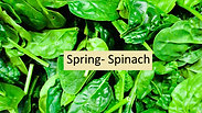Spring-Spinach