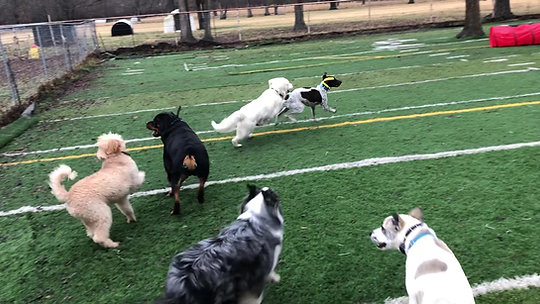 Dogs Playing On Turf Yard