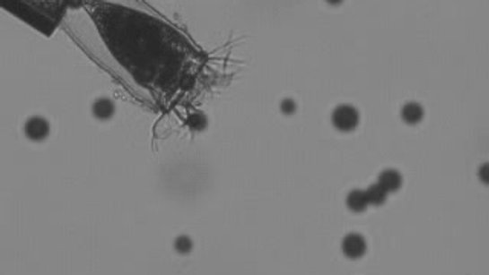 Tintinnid ciliates feeding on microplastics