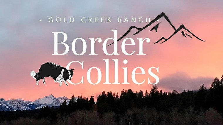 Gold Creek Ranch Border Collies