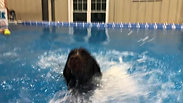 German Shorthaired Pointer first swim lesson