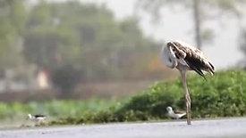 Flamingo at Sirpur Lake, Indore