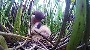 Feeding time at a Least Bittern Nest