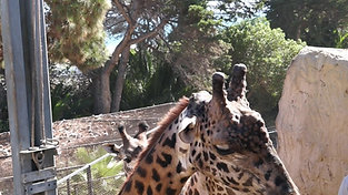 Animal Chats: Giraffe