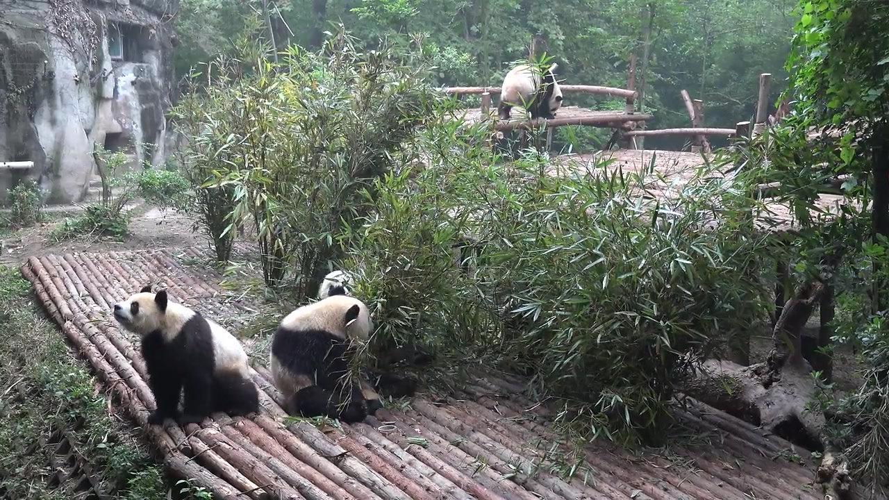 Take Your Time, Watch Some Pandas