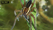 Dolomedes IN6_1 150919099010