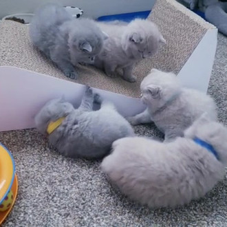 AVAILABLE BLUE KITTENS | British Shorthair Cats Oregon