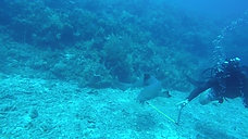 Nurse Sharks of Utila, Honduras