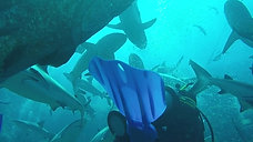 Elbowing my way through sharks at North Horn, Osprey reef GBR